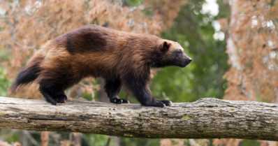 Petoeläimet aiheuttavat tappioita poronhoidolle – susi ja ahma suurimmat syylliset