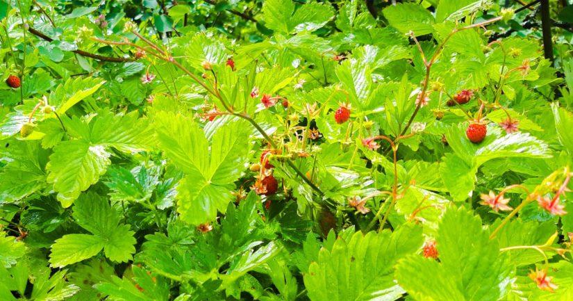 Lukkarinpuistosta löytyy mansikoita, mustikoita ja vaikka mitä aarteita.
