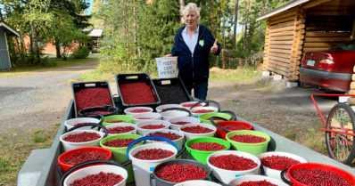 """Puolukkamies Aimo poimi 2000 ämpärillistä puolukoita vanhuksille – """"Tulee itsellekin aina hyvä mieli"""""""