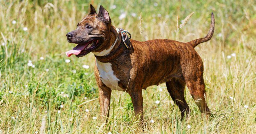 Poliisi pyytää havaintoja Turussa naista purreesta koirasta, joka silminnäkijöiden mukaan muistutti amstaffia.