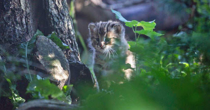 Korkeasaaren amurinleopardikissat saivat pörröturkkiset poikaset – pennut ovat jo uskaltautuneet ulos
