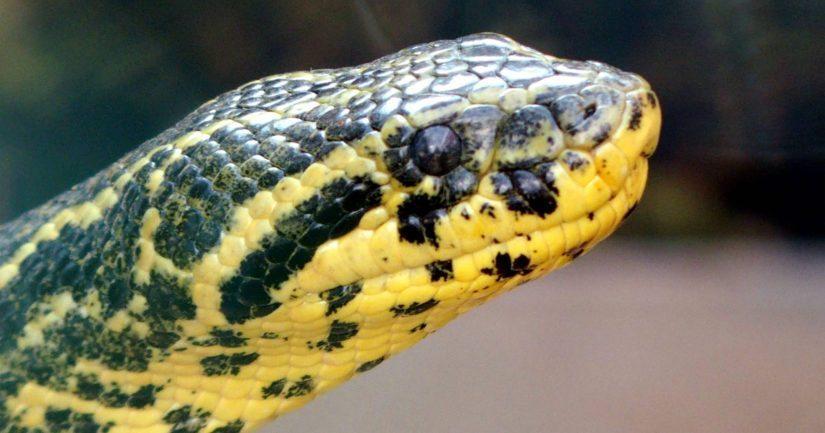 Keltainen anakonda on eteläamerikkalainen, myrkytön käärmelaji.
