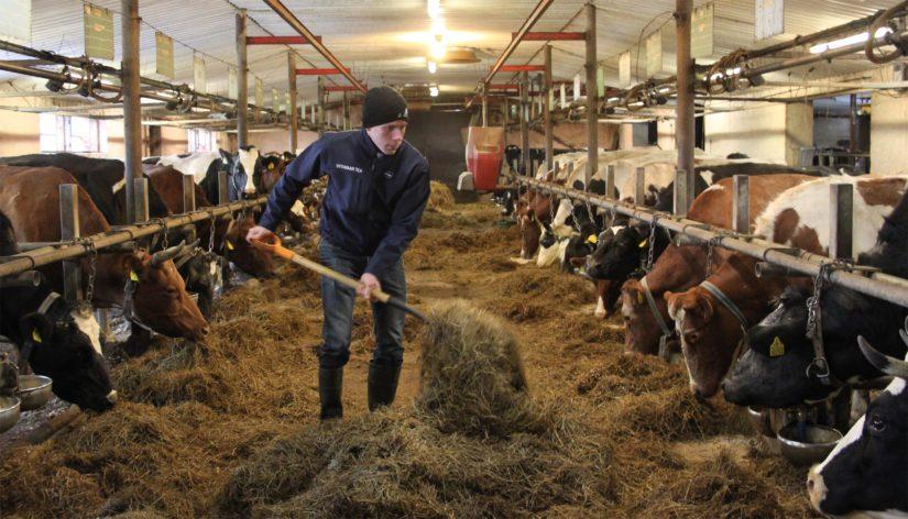 Sukupolvenvaihdoksen jälkeen Viitamaan tilan isäntäpari peruskorjasi navetan ja lisäsi lypsävien määrää. – Kehitämme tilaa karjan hyvinvointia ajatellen.