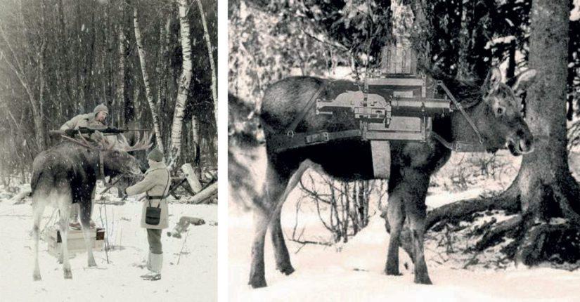 Vasemmalla jälkiväritetyssä kuvassa ollaan kiinnittävinään pikakivääriä hirvensarviin, oikealla hirven selässä olevan laatikon läpi paistaa takana oleva koivu.