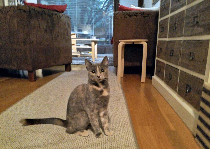 Aune oli alussa erittäin arka ja varautunut, mutta jo muutaman kuukauden kuluttua pienestä kissatytöstä kuoriutui leikkisä hurmuri.