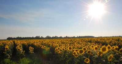 """Ruissalossa saa poimia ilmaiseksi auringonkukkia pelloilta – """"Poimi yksi kimppu itsellesi niin muillekin riittää"""""""