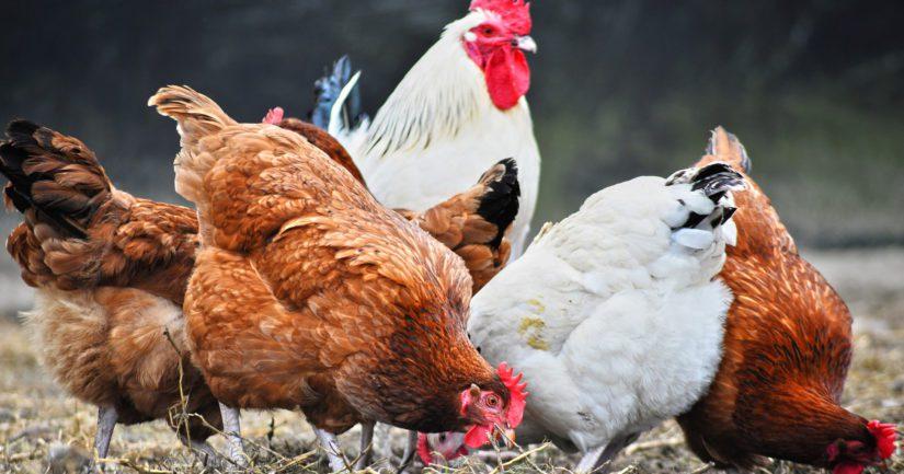 WWF:n mukaan suomalaista broileriakin tulisi välttää, jos se on syönyt soijaa.