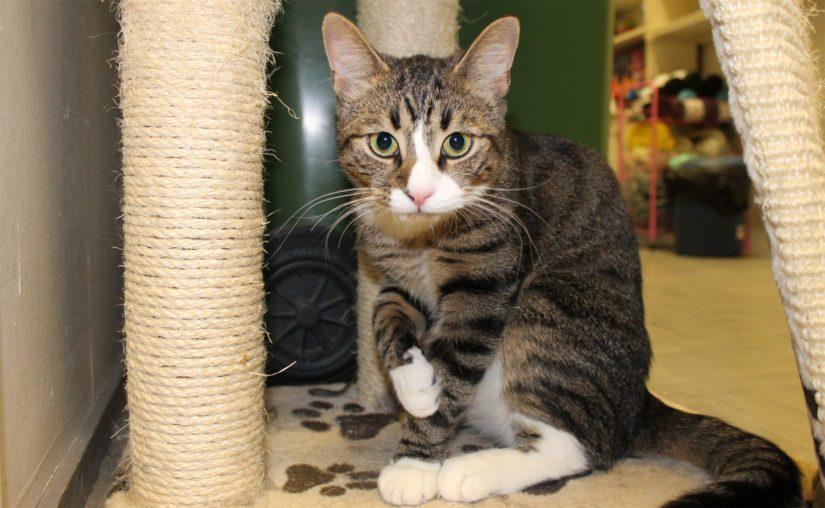 Dumle löydettiin erään kerrostalon pihalta. Sosiaalinen ja ihmisiä pelkäämätön kissa on todennäköisesti ollut ennen kadulle joutumistaan lemmikkinä.