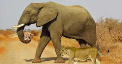 Ihastelitko kuvaa väsynyttä leijonanpentua kantavasta elefantista? – Koskettava tarina ei kuitenkaan ole totta