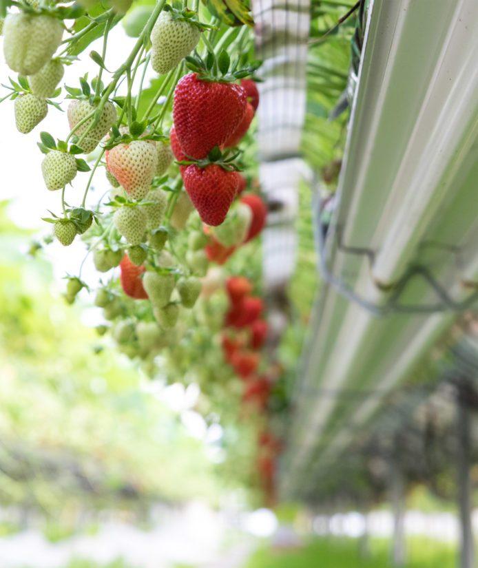 Flair-lajikkeen mansikat kypsyvät Alanteen Tilalla Paimiossa.