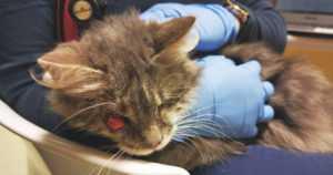 Frida pelastettiin autiotalon kellarista – samasta loukosta löytyi kymmenittäin sairaita kissoja