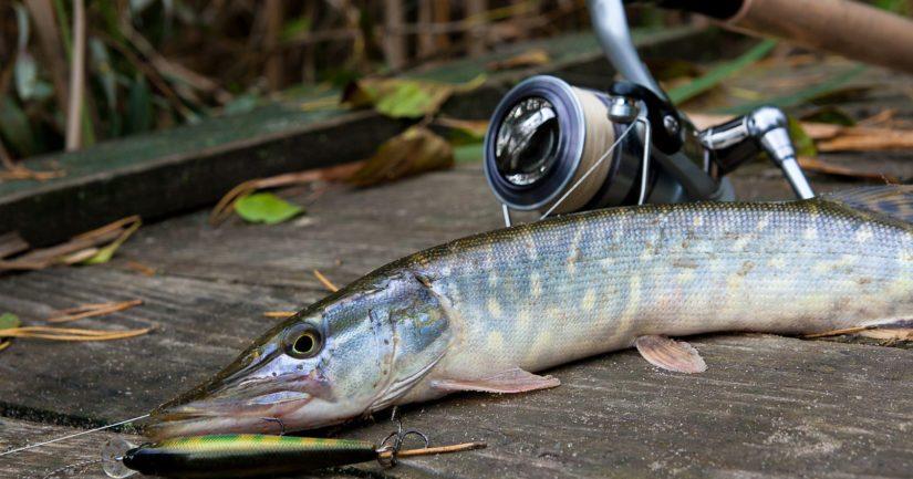 Hauki on kala, ja jos kalaonni ei ole myötä, löytää niitä kaupan kalatiskiltäkin.