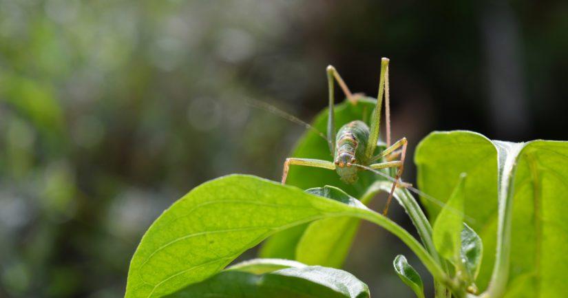 Olisiko sinulla myydä heinäsirkkoja – niistä on nimittäin pula?