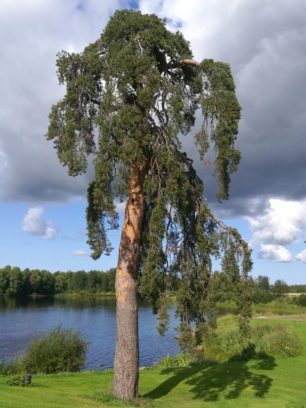 Pyhäjoella Pirttikosken kylän komea petäjä on kansallisrunoilija Aaro Hellaakosken suvun syntymäsijoilla. Runoilijasta on olemassa valokuva, jossa hän on lapsena puun juurella vuonna 1903.