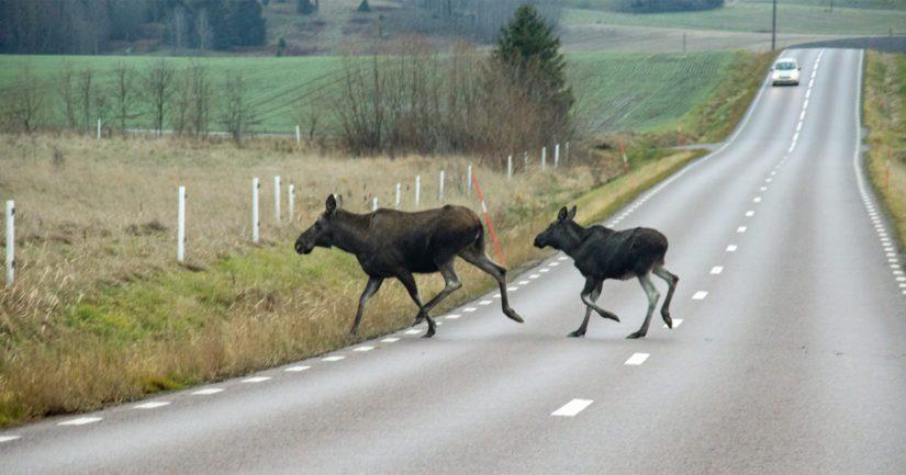 Liikuttaessa hirvivaroitusalueella ajonopeutta tulee vähentää