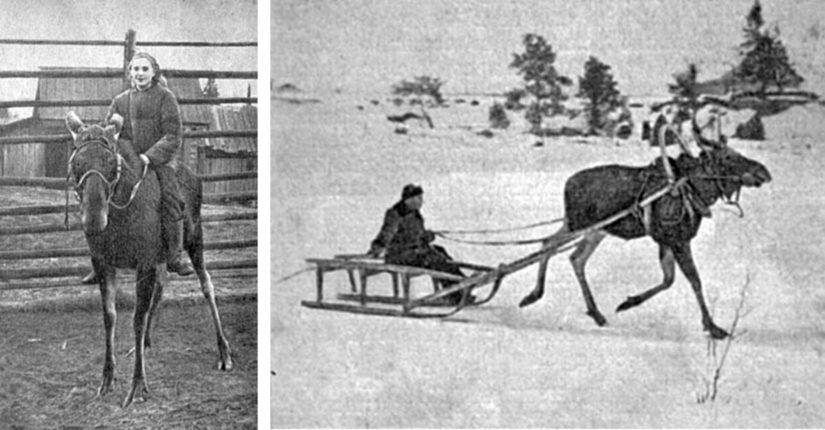 """""""Ratsastava naissotilas"""" onkin työntekijä vuonna 1949 maito- ja lihatuotantoa varten perustetulla Pechoran hirvitilalla, jossa onnistuttiin jopa valjastamaan hirvi."""