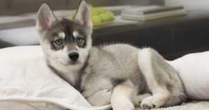 Koiranpentu varastettiin kaupan edustalta ‒ tarkkaavaiset vartijat huomasivat pennun juna-asemalla