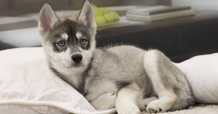 Varastettu koiranpentu on toimitettu takaisin oikealle omistajalleen