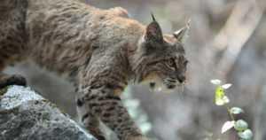 Villi ilves ilmaantui eläinpuistoon – ehti tappaa kaksi kaurista ja kolme kuusipeuraa
