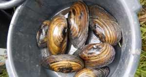 Nämäkin tuli laskettua – Lippajärvessä elää lähes 740 000 isojärvisimpukkaa