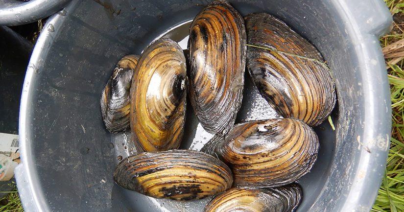 Lippajärvestä löydettiin tutkimuksen aikana neljä eri simpukkalajia, eniten kerättiin isojärvisimpukoita.