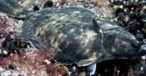 """Itämeren ensimmäinen kotoperäinen kalalaji sai nimen – tässä on """"Itämeren kampela"""""""