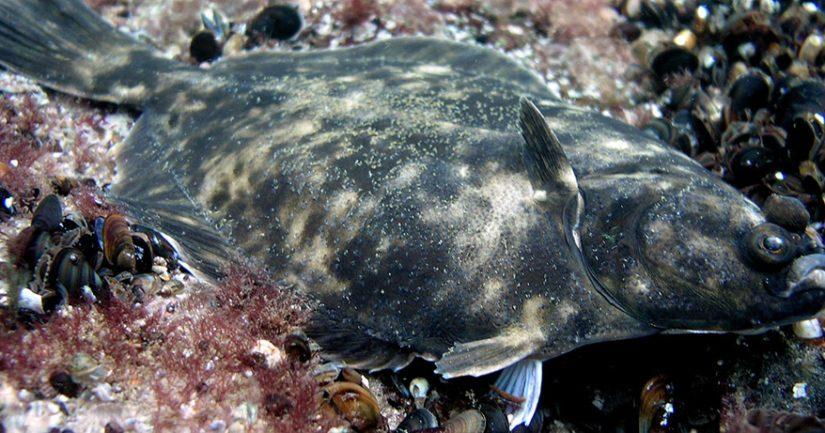"""""""Itämeren kampela"""" Platichthys solemdali on ensimmäinen kotoperäinen eli endeeminen kalalaji joka on kuvattu Itämerestä."""