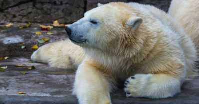 Ranuan jääkarhut saavat yllätyksen Rukalta – kymmeniä kuutioita lunta!