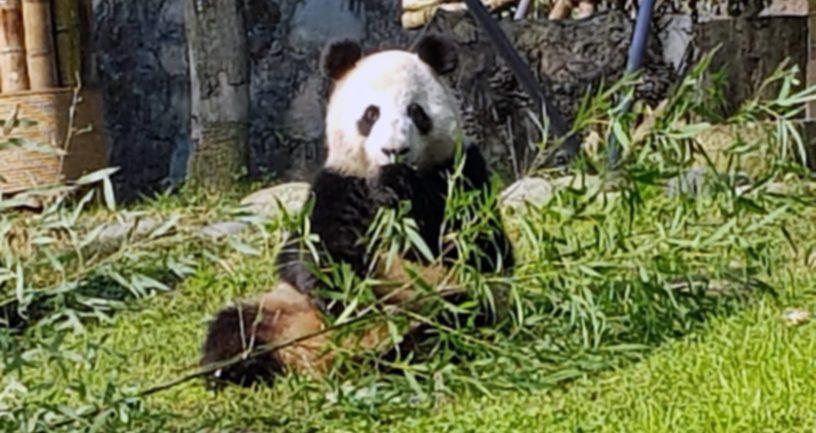 Jin Bao Bao on Ähtäriin saapuvasta pandakaksikosta naaraspuolinen.
