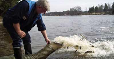 Kalakantoja vahvistetaan – lähes puoli miljoonaa lohen ja taimenenpoikasta istutetaan