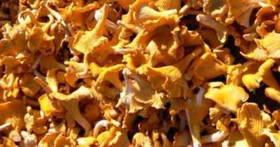 Sienissä on edelleen Tshernobylin säteilyä – käytölle ei kuitenkaan rajoituksia