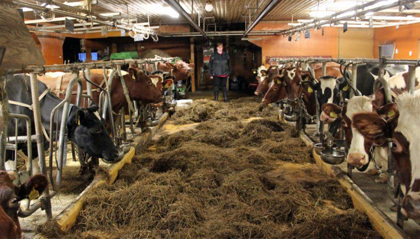 Kantoniemen tilan kaikki lehmät ovat sarvettomia. Isäntäparin mukaan nupotus rauhoitti lehmän luonnetta.