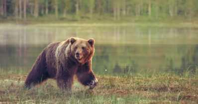 Jälleen yksi karhu oli saanut tassuunsa kiinni pienpetoraudat – kontio lopetettiin poliisin päätöksellä