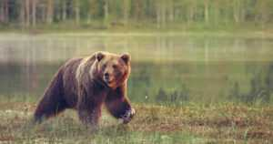 Kontio kohteli turistien autoa kaltoin – matkamuistoksi jäi puskurinpalasia ja karhun karvoja