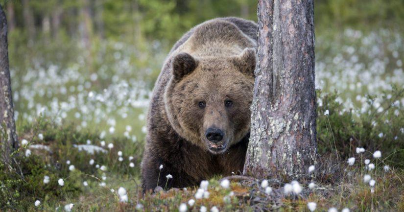 Auton kanssa törmännyt karhu jatkoi loukkaantumattomana syvemmälle metsään.