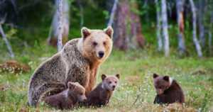 Karhu on kansalliseläin, mutta mikä on kansalliskukka? – Nämä ovat 9 kansallissymboliamme luonnossa!