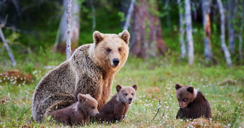 Suomessa on 2 000 karhua – karhukanta on runsastumassa