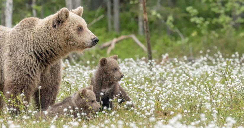 Pentu oli ylittänyt tietä emänsä ja toisen pennun kanssa ja poistunut törmäyksen jälkeen metsään.