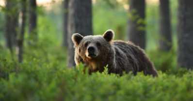 Karhu ja tilataksi kolaroivat – kontiosta ei normaalia enempää vaaraa ihmisille