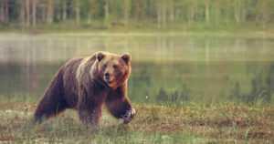 Karhu kolaroi tavarajunan kanssa – kontio juoksi päin veturia ja pyöri ojaan