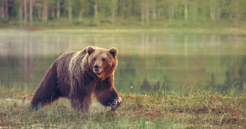 Keskikokoinen karhu oli juossut päin veturin etukulmaa.