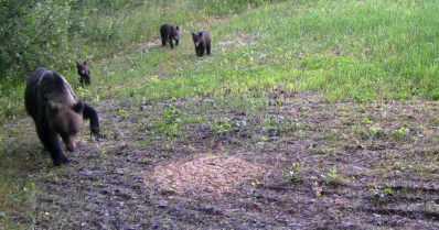 Poliisi teki päätökset kahden loukkaantuneen karhun osalta – toinen loukutetaan, toinen lopetetaan