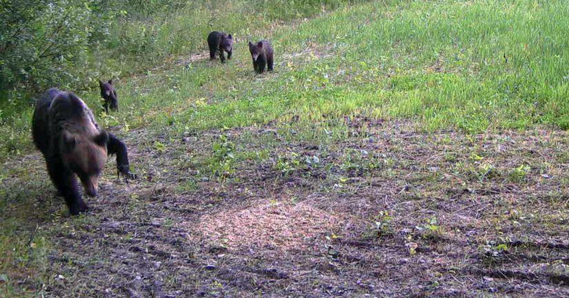 Joensuun Enossa pentujensa kanssa liikkuvaa karhua yritetään vielä loukuttaa.