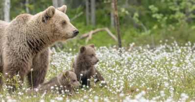 Varo lähestymästä karhua, jolla on kaksi pentua – havaittu asutuksen läheisyydessä