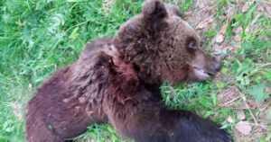 Nuorta karhua karkotettiin pihoista neljä kertaa koirilla ja karkotusaseella – köpelösti kävi kontiolle