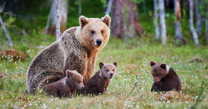 Tassu-järjestelmään on kirjattu useampia havaintoja karhuemosta ja kolmesta pennusta Lieksassa.