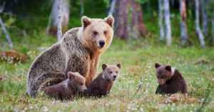 Pesästä nousseet karhut ovat nälkäisiä – älä houkuttele kontioita ravinnolla