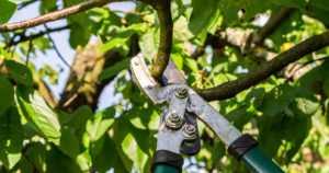 Syksyllä saksitaan pensaita ja puita – kesän vauriot voi korjata