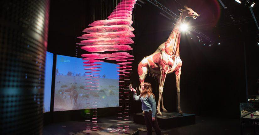 Suomalainen tiedekeskus Heureka Vantaalla esittelee näyttelyssään eläinten anatomiaa.