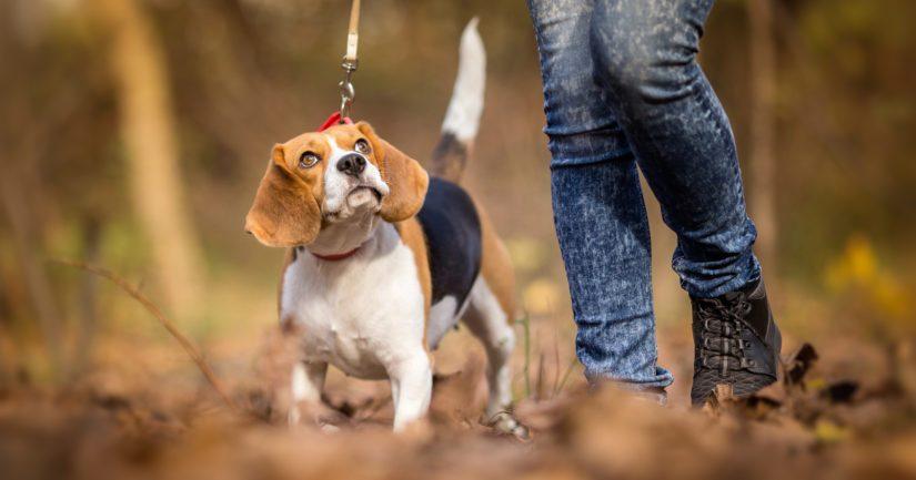 Määrä ratkaisee: koiran koosta riippuen jo pieni annos voi olla kohtalokas.